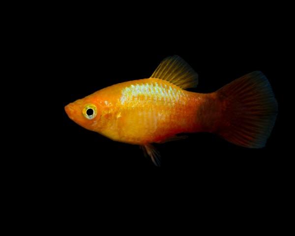 "Platy ""marygold glühlicht"" - Xiphophorus maculatus"