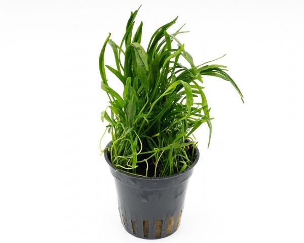 Brasilianische Graspflanze - Lilaeopsis brasiliensis - NatureHolic Plants - Topf
