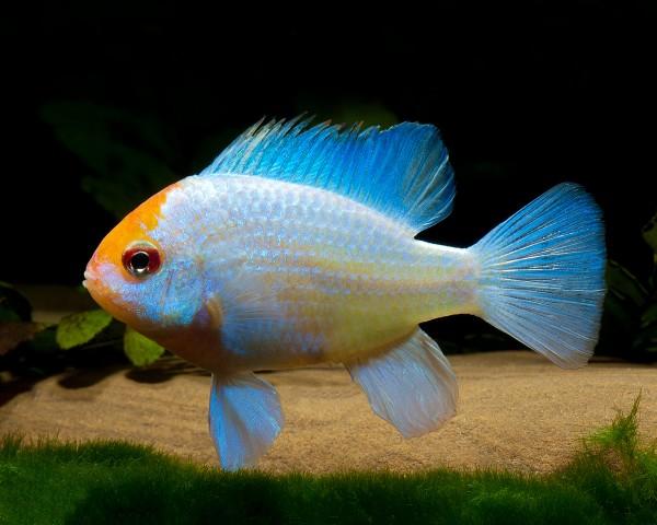 "2 x Schmetterlingsbuntbarsch ""blue punk"" - Microgeophagus ramirezi - Pärchen"