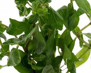 Indischer Wasserfreund - Hygrophila polysperma - NatureHolic Plants - Topf