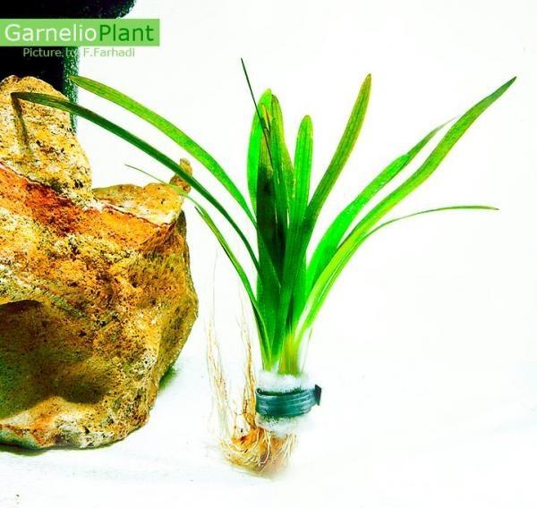 Pfleilkraut Species – Sagittaria subulata - Bund / Topf