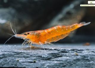 Mandarinengarnele - Caridina thambipillai