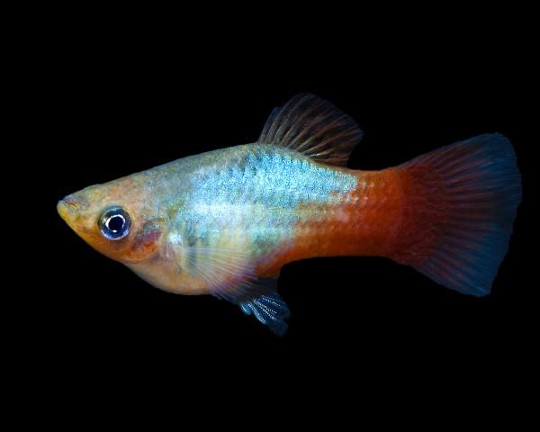 """Platy """"Regenbogen"""" - Xiphophorus maculatus"""