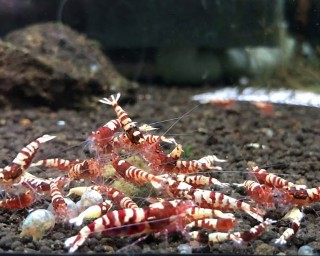 Red Taitibee Garnele - Caridina sp.
