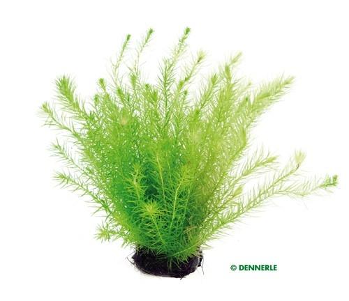 Grünes Mooskraut , Mayaca fluviatilis - 1 BUND