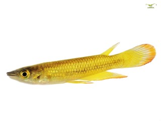 Goldener Streifenhechtling - Aplocheilus lineatus - EU-NZ