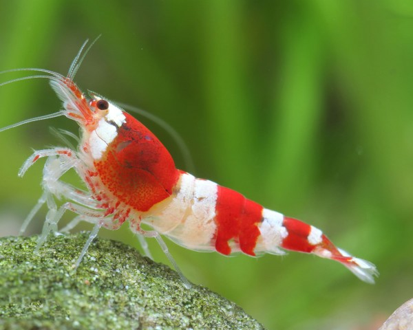 "Red Bee Garnele K4 - DNZ Caridina logemanni ""Red Bee"""