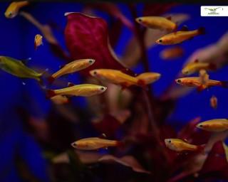 Kardinalfisch gold-orange - Tanichthys albonubes