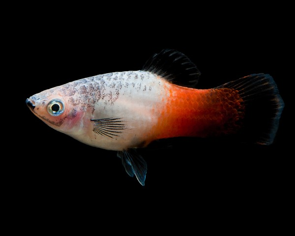 "Platy ""tricolor"" - Xiphophorus maculatus"