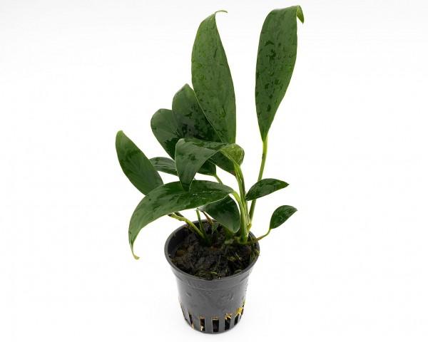 Schmalblättriges Speerblatt - Anubias barteri var. angustifolia - NatureHolic Plants - Topf