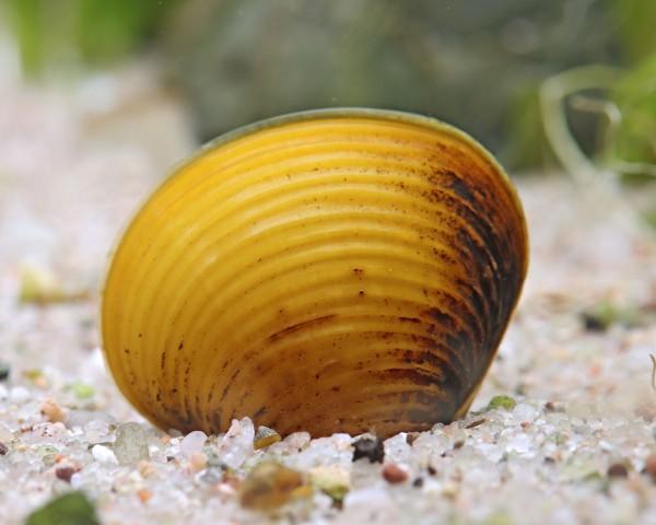 Goldene Körbchenmuschel - Corbicula sp.