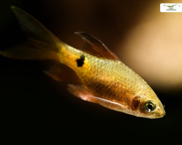 Schleier-Prachtbarbe - Barbus conchonius