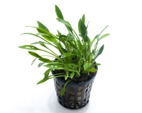 Cryptocoryne parva - NatureHolic Plant