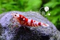 Red Fancy Tiger - diverse Zuchtgruppen