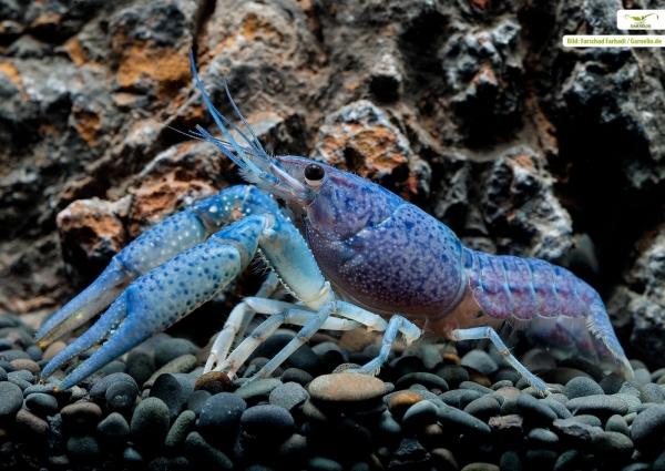 Blauer Floridakrebs - Procambarus alleni
