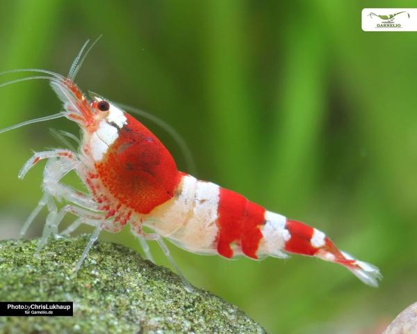 "Red Bee Garnele K4 - DNZ Caridina logemanni ""Red Bee"""