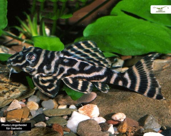 L270 - Schokoladen-Zebrawels - Hypancistrus sp. 5cm