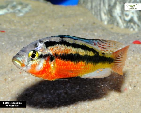 2x Gelber Viktoria Maulbrüter - Haplochromis rock kribensis - DNZ 5cm