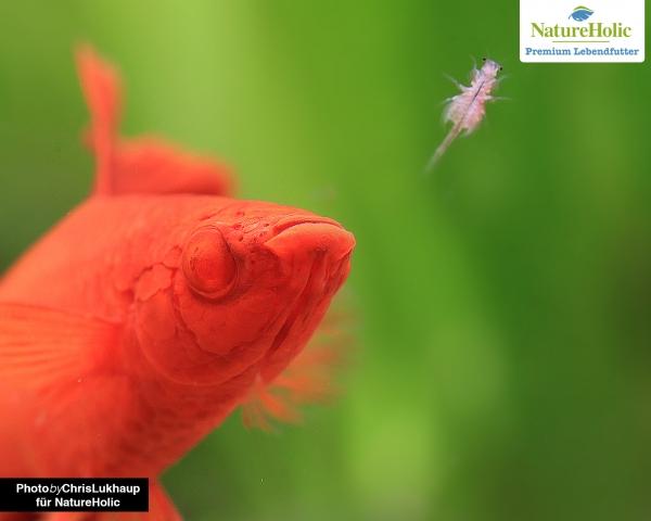 Artemia Nauplien - NatureHolic Lebendfutter
