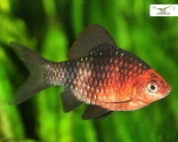 Purpurkopfbarbe - Pethia nigrofasciata DNZ