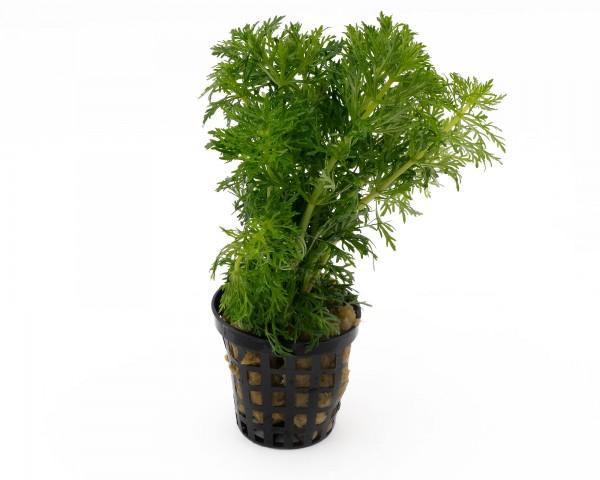 Blütenstielloser Sumpffreund - Limnophila sessiliflora - NatureHolic Plants - Topf