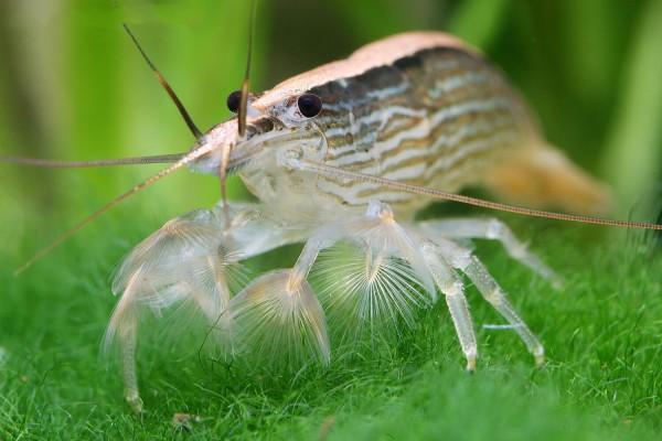 Molukkenfächergarnele - Atyopsis moluccensis