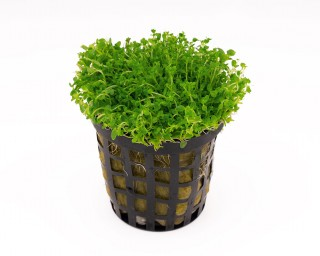 Zwergperlkraut - Hemianthus callitrichoides - NatureHolic Plants - Topf