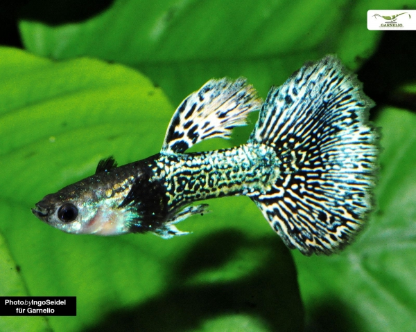 "Guppy männlich ""dumbo ear"" - Poecilia reticulata"