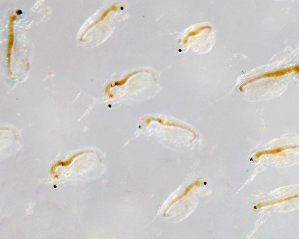 Moina salina / Zooplankton - NatureHolic Lebendfutter