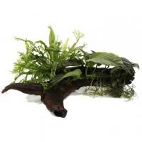 Microsorum and Anubias 'Duet' - Tropica Pflanze auf Wurzeln (XL)