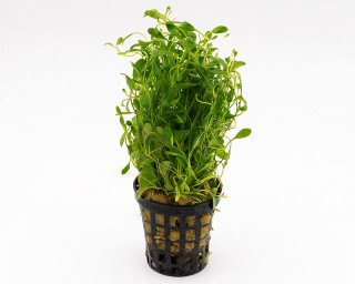 Australisches Zungenblatt - Glossostigma elatinoides - NatureHolic Plants - Topf