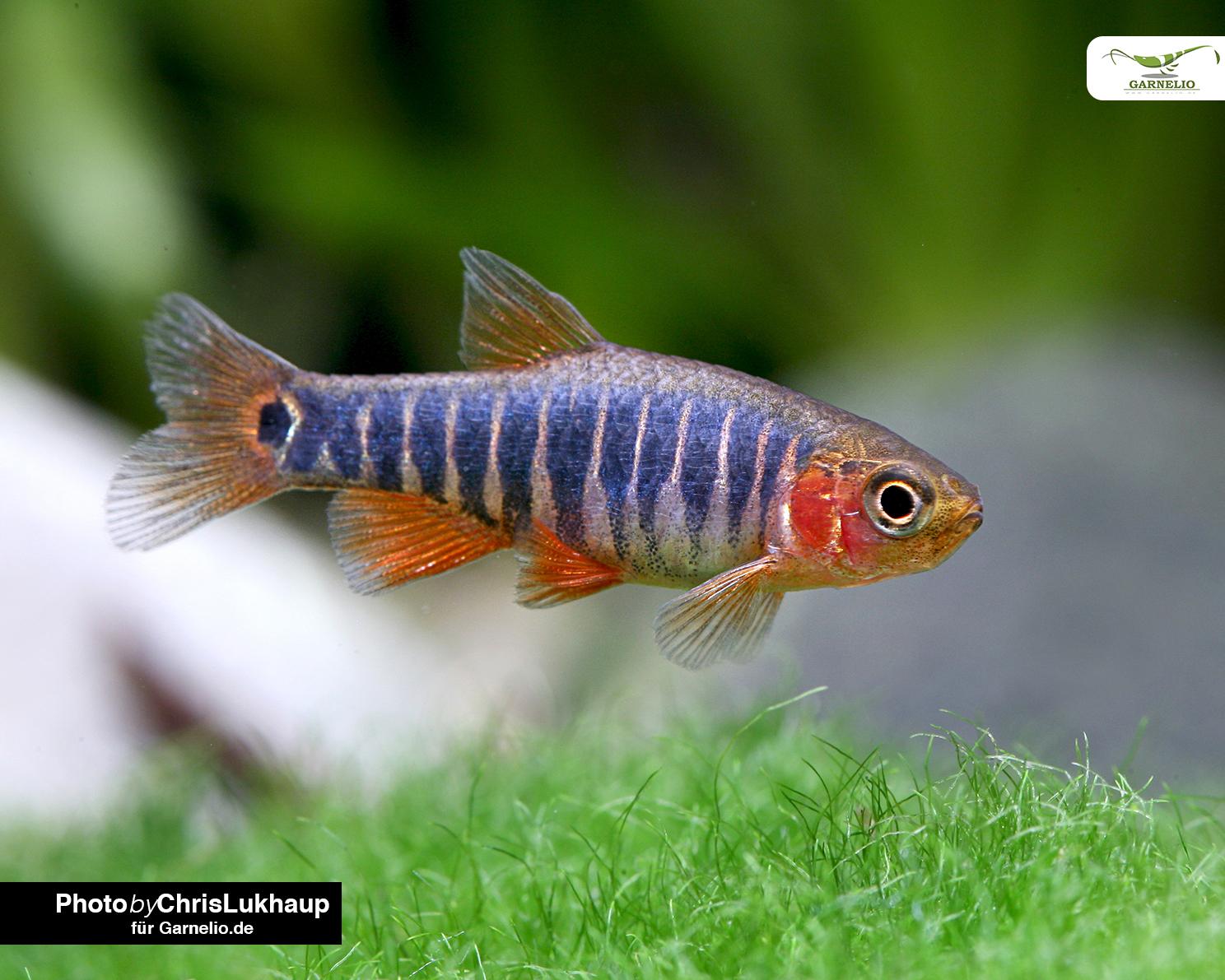 nano aquarium fische