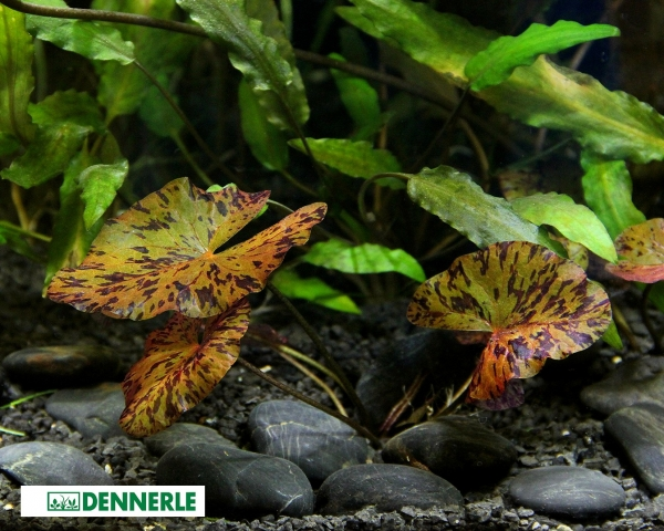 Roter Tigerlotus - Nymphaea lotus - Knolle - Dennerle