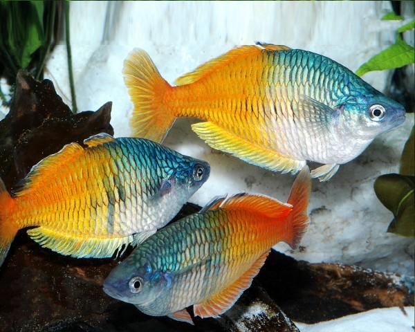 Orange Blauer Regenbogenfisch - Melanotaenia boesemani - DNZ