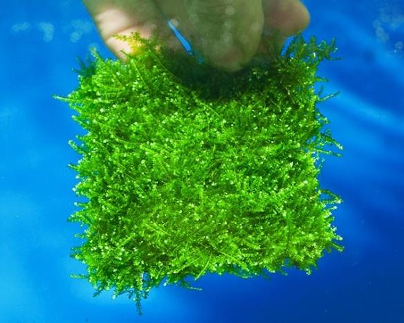 Christmas Moos Aquascape Pad - Vesicularia montagnei 8 x 8 cm ( Xmas-Moos )