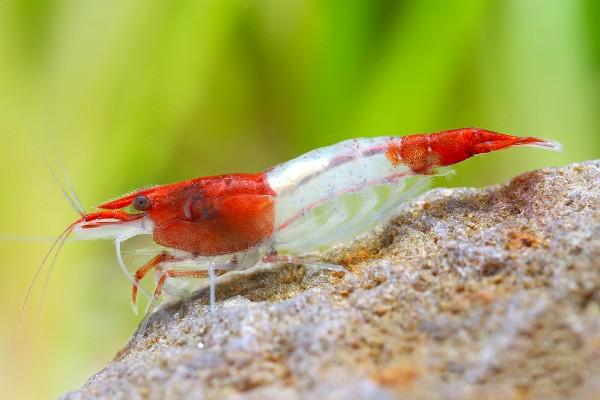 """Red Rili Garnele, Kohaku Shrimp - Neocaridina davidi """"Red Rili"""""""