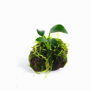 Vulkangestein 3-7 cm - Anubia -Weepingmoos Vesicularia ferriei