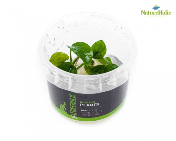 Anubias nana - NatureHolic InVitro