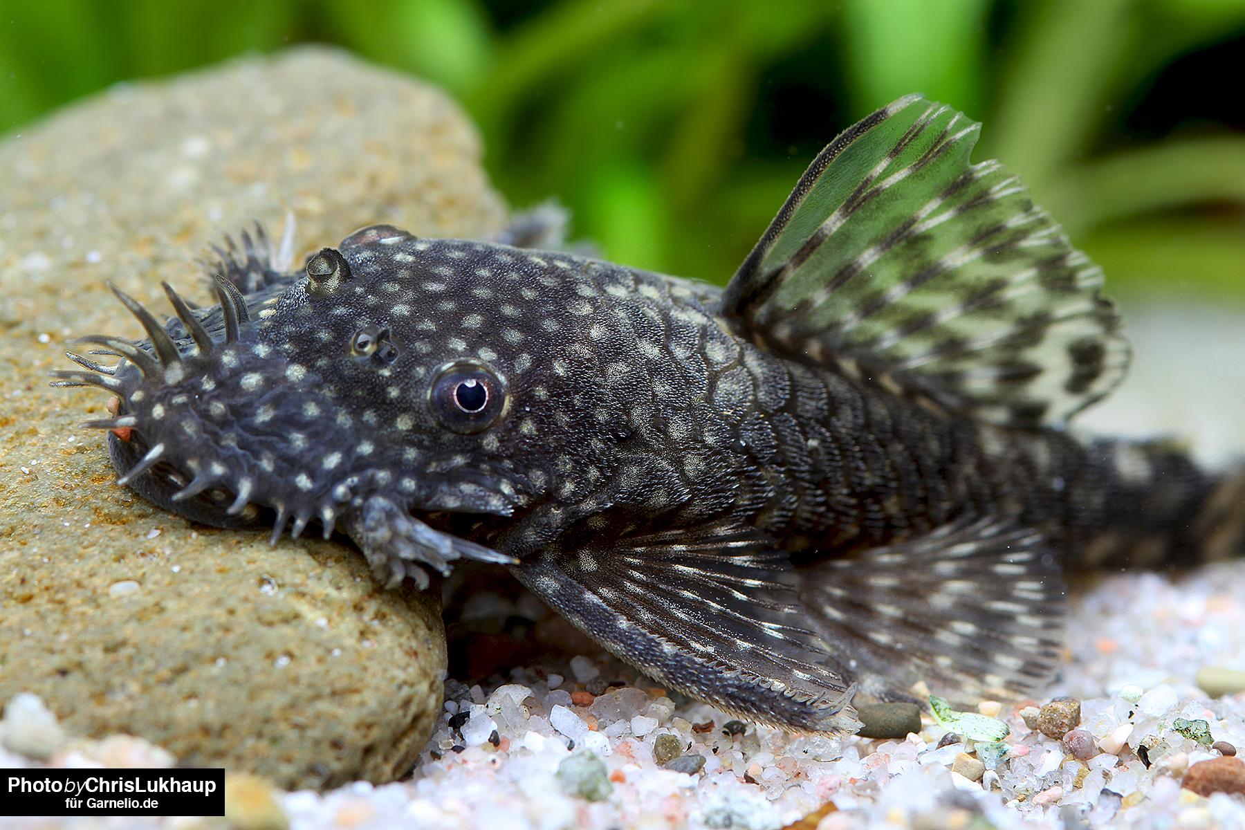 Welche fische vertragen sich mit garnelen garnelen for Robuste zierfische