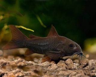 Schwarzer Metallpanzerwels - Corydoras aeneus