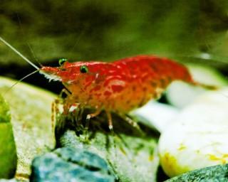 Tragende Red Cherry Garnele - Red Fire Garnele