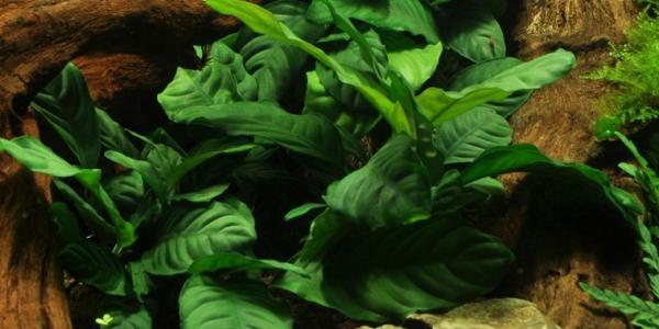 Kaffeeblättriges Speerblatt - Anubias barteri var. coffeifolia - Tropica Topf
