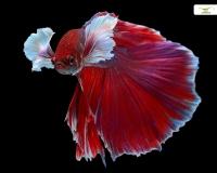 Kampffisch männlich Superdelta
