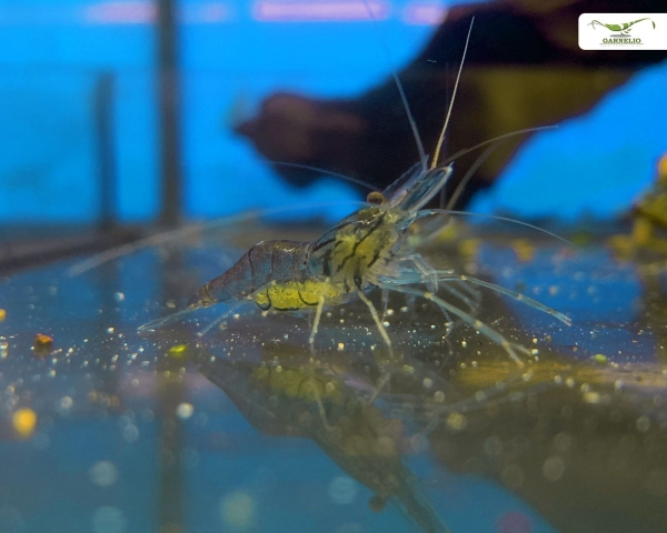 Tragende Glasgarnele - Macrobrachium lanchesteri