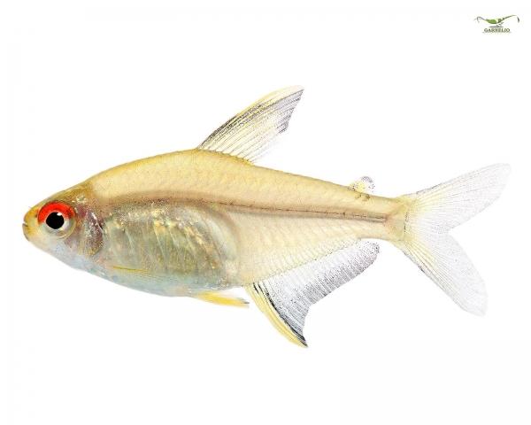 Schmucksalmler - Hyphessobrycon bentosi - DNZ