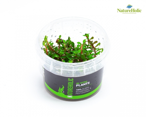 Rotala sp. Colorata - NatureHolic InVitro