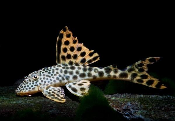 L75 - Leopard-Trugschilderwels - Para Pleco - Ancistomus cf. sabaji - 8-11cm