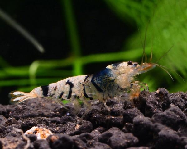 Black Fancy Tiger - Caridina sp.