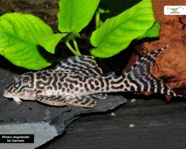 L399 - Belo Monte Harnischwels Hypancistrus sp. DNZ 5-7cm