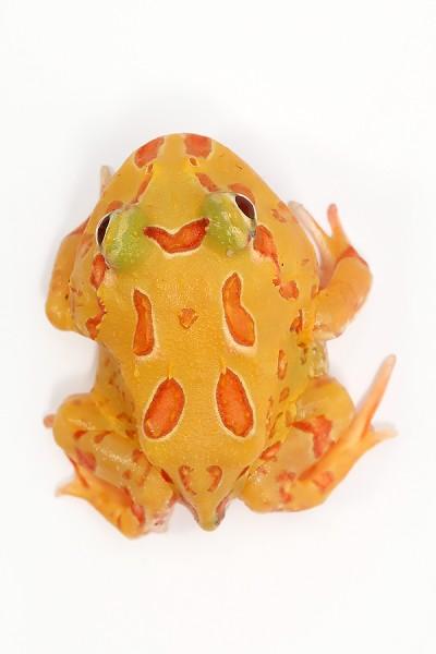 Pacman Frog Albino - Ceratophrys cranwelli